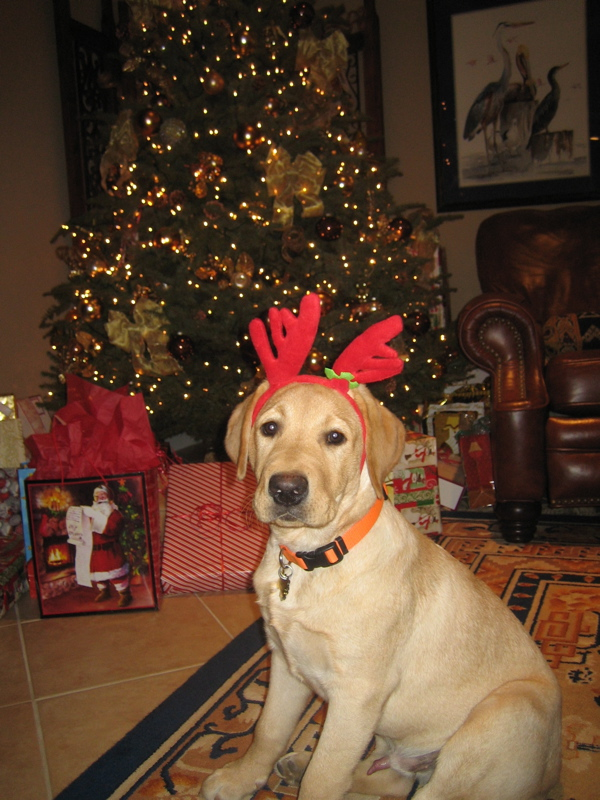 Yellow Labrador Retriever IMG_1043.JPG