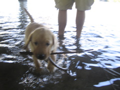 yellow lab IMG_0737.JPG