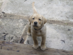 yellow lab IMG_0778.JPG