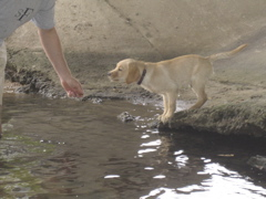 yellow lab IMG_0812.JPG