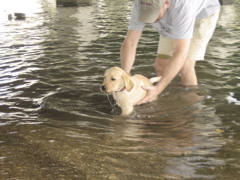 yellow lab IMG_0815.JPG