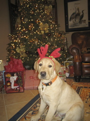 yellow lab IMG_1043.JPG