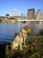 yellow lab IMG_1087.JPG