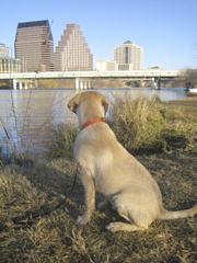 yellow lab IMG_1090.JPG