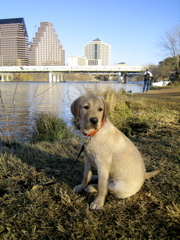 yellow lab IMG_1092.JPG